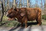 Scottish Highland Cow, Netherlands