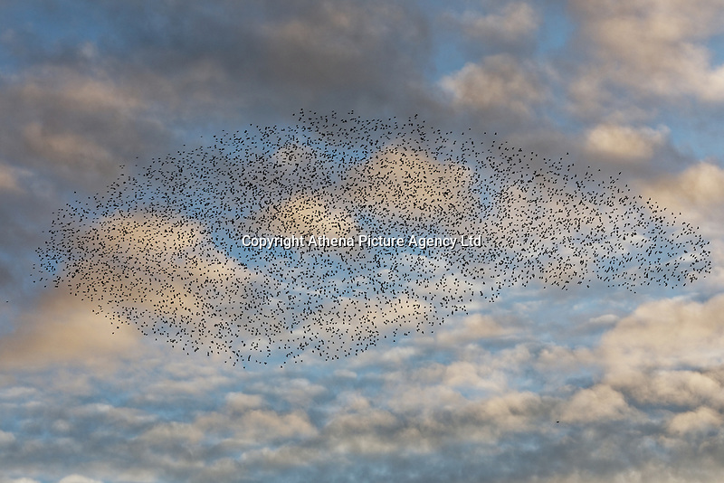A starlings murmuration taking place during sunset over Aberystwyth, Wales, UK. Sunday 03 November 2019