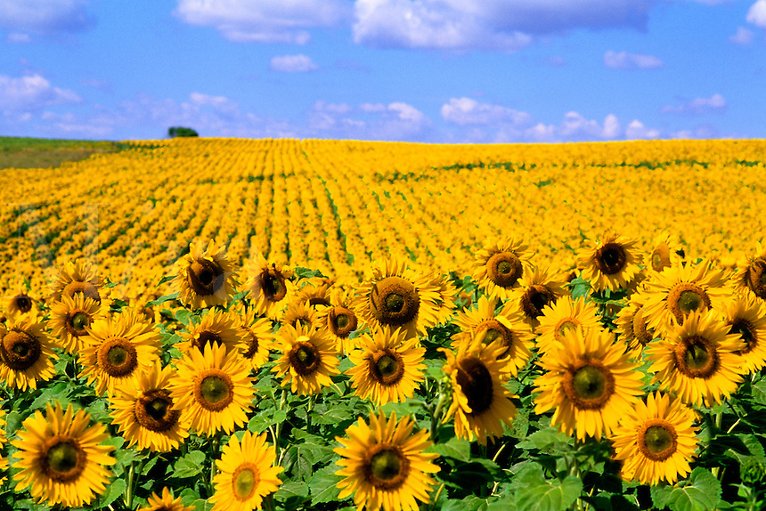 Wild colors of sunflowers in Jamestown North Dakota