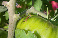 Meadow katydid insect on tomatoes Black Krim, vegetable plant pest insect problem, in garden