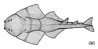 Sawback angelshark, Squatina aculeata, lateral view, pen and ink illustration.