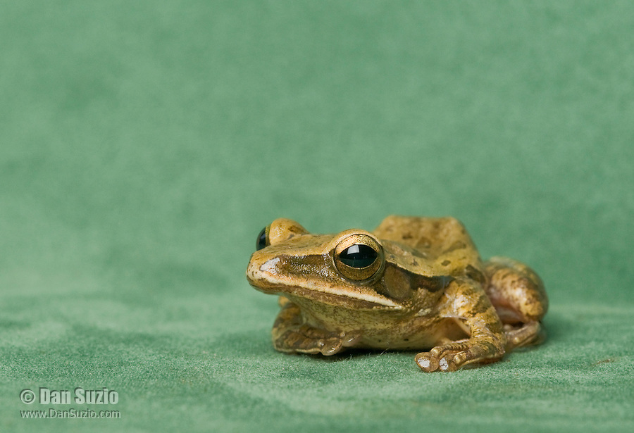 Striped treefrog, Polypedates leucomystax, from the Baucau District of Timor-Leste (East Timor). This frog has only recently been studied in Timor-Leste, and will probably be assigned to another species.
