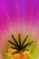Lady Finger Cactus (Echinocereus pentalophus), stamen close up, Laredo, Webb County, South Texas, USA