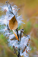 A Milkweed plant's seed pods open to expose it's seeds and cast them to the winds in Autumn, Ryerson Woods Conservation Area in Lake County, Illinois