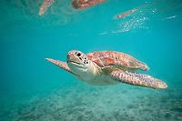 green sea turtle, Chelonia mydas, endangered species, Grand Cayman, Cayman Islands, Caribbean Sea, Atlantic Ocean