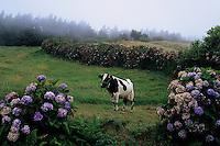 ilha de Faial, Açores, 2005