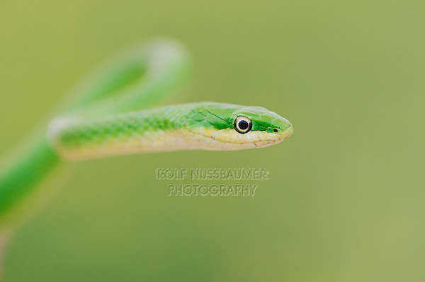 Rough Green Snake (Opheodrys aestivus), Refugio, Coastel Bend, Texas, USA