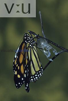 Monarch Butterfly emerging from its chrysalis ,Danaus plexippus,.
