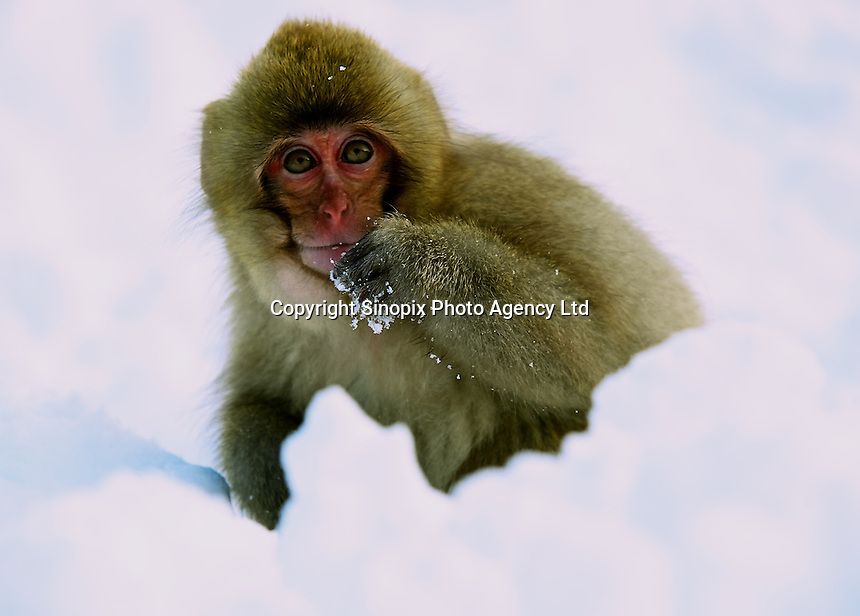 A baby Japanese macaque, Snow Monkey, is covered in a thick coat of winter fur, in Jigokudani  (Hell Valley) in Nagano Prefecture, Japan.  Japanese snow monkeys live in extreme conditions where winter temperatures can drop to -20 c, and they are unique in taking hot bath, known as an Onsen..18 Jan 2011