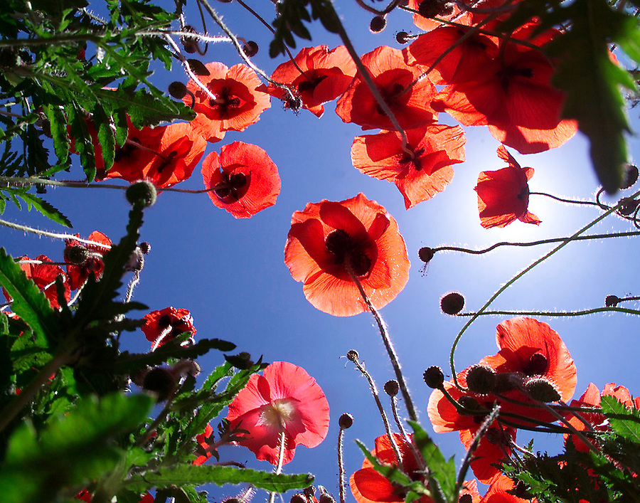 Wildflower poppies rise out of the ground towards the blue sky.