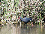 Western Swamphen, Porphyrio porphyrio, Ria Formosa West, Quinta Do Lago Golf Course, Algarve, Portugal