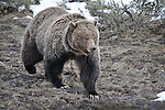 A grizzly bear, Ursus arctos horribilis, follows the scent of a dead bison in Yellowstone National Park, Wyoming.