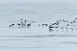 Brandt's Cormorant (Phalacrocorax penicillatus) flock flying, Santa Cruz, Monterey Bay, California