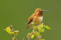 Male Rufous Hummingbird sitting on red huckleberry bush branch.  Pacific Northwest.  Spring.
