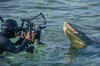 Diver photographing an American Crocodile, crocodilus acutus, Banco Chinchorro Atoll, Quintana Roo, Southeastern Mexico. Caribbean Sea.