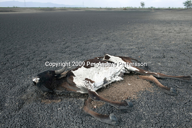 ARUSHA, TANZANIA - NOVEMBER 15: A cow carcass lies in a dried out water dam on November 15, 2009 in a rural area north of Arusha, Tanzania. This area has been severely affected by drought the last two years and as many as 3-4000 cattle has died in recent months. The Maasai tribe populates the area and many of them has given up on farming and traveled to cities such as Arusha to look for work. Indigenous peoples globally, such as the Maasai in Tanzania and Kenya, are disproportionately affected by the impacts of climate change due to fragile and harsh ecosystems. (Photo by Per-Anders Pettersson)....