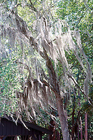 WETLAND<br /> Spanish Moss In Okefenokee Swamp, Ga<br /> Spanish Moss is an epiphyte, it uses its host plant for support but is not parasitic.  It absorbs nutrients and water directly from the air through its roots and leaves.