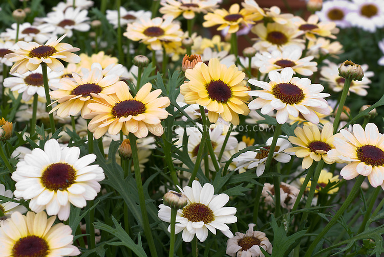Argyranthemum 'Reflections Lemon Cream', marguerite daisies