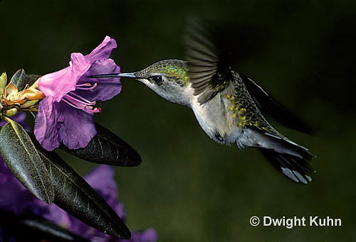 HU01-012z  Ruby-throated Hummingbird - drinking nectar from rhododendron flower as it hovers in air -  Archilochus colubris