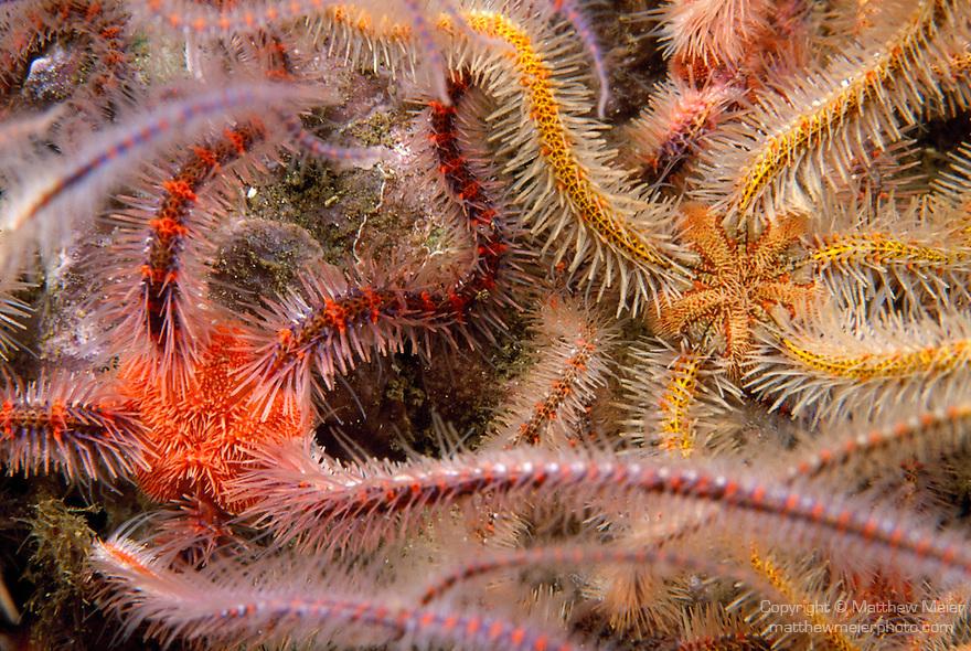 Santa Cruz Island, Channel Islands, California; Western Spiny Brittle Star (Ophiothrix spiculata) , Copyright © Matthew Meier, matthewmeierphoto.com All Rights Reserved