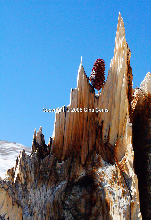 Remnants of a bristlecone pine trunk with a pine cone perched on to with the blue sky as a backdrop