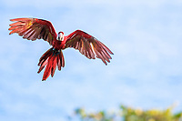 scarlet macaw, Ara macao, flying, Corcovado National Park, Osa Peninsula, Costa Rica, Central America