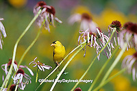 01640-14310 American Goldfinch (Carduelis tristis) male on Pale Purple Coneflower (Echinacea pallida) in flower garden, Marion Co. IL