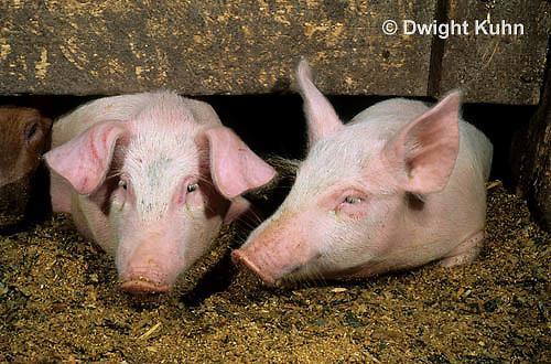 SH11-001z  Pigs - in barn
