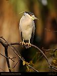 Black-crowned Night Heron Alpha Male LA Arboretum Southern California