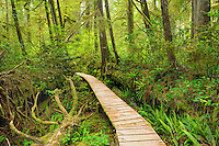 Boardwalk in temperate rain forest<br /> Pacific Rim National Park<br /> British Columbia<br /> Canada
