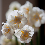 Brussels-Belgium - March 27, 2016 -- Bridal Crown, a narcissus / daffodil, Amaryllidaceae -- Photo: © HorstWagner.eu