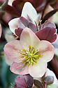 Hellebore (Helleborus ericsmithii Gold Collection 'Silvermoon'), mid March.