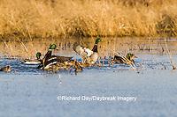 00729-02203 Mallards (Anas platyrhynchos) in wetland, Marion Co. IL