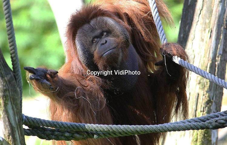 Foto: VidiPhoto<br /> <br /> APELDOORN - De Duitse orang-oetan Kevin mocht donderdag sinds zijn komst naar Apenheul in Apeldoorn -twee weken geleden- voor het eerst naar buiten. De introductie verliep zonder problemen. Het orang-eiland in Apenheul is omgeven door water en ook dat kent hij alleen uit zijn drinkbak. De 31-jarige voormalige circusaap, heeft vijf jaar lang in de dierentuin van Berlijn in eenzame opsluiting gezeten, zonder klimmogelijkheden. Apenheul hoopt dat Kevin door klimoefeningen zijn spieren flink traint, zodat hij volgend jaar zonder problemen gebruik kan maken van de bomenjungle in Apenheul. Nu is hij nog wat stram. Met de komst van Kevin heeft de dierentuin een tweede zogenoemde wangplaatman (naast Amos) en een extra mogelijkheid om de vrouwtjes zwanger te maken. Van Kevin bestaan nog geen nakomelingen, dus is hij genetisch zeer interessant.