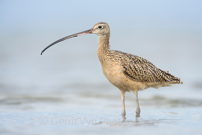 Long-billed Curlew (Numenius americanus). Grays Harbor, Washington. May.