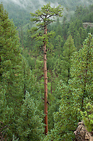 Very tall old growth Ponderosa pine with Anderson Mesa in background, Coconino National Forest, Flagstaff, Arizona, USA, TomBean_Pix_1938.