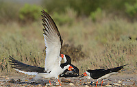 Black Skimmer (Rynchops niger), adult landing with fish prey, Port Isabel, Laguna Madre, South Padre Island, Texas, USA