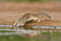679270076 a wild mexican ground squirrel spermophilus mexicanus near a small pond in the rio grande valley of south texas