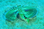 Top view of swimming Flying Gurnard (Dactylopterus volitans)