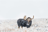 Bull Moose out on sage flats during snowstorm.  Grand Teton National Park, Wyoming.   Snow.  Winter.