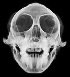 X-ray image of a vervet monkey skull and jaw (anterior view, white on black) by Jim Wehtje, specialist in x-ray art and design images.