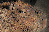 Capybara (Hydrochoerus hydrochaeris), zone Guyane of the new Parc Zoologique de Paris or Zoo de Vincennes, (Zoological Gardens of Paris or Vincennes Zoo), which reopened April 2014, part of the Museum national d'Histoire naturelle (National Museum of Natural History), 12th arrondissement, Paris, France. Picture by Manuel Cohen