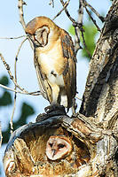 A Mother Barn Owl guards her two rapidly growing owlets in a nest located in a knothole of a large Cottonwood tree in Colorado.