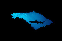Disturbed by the photographer in it's resting place this whitetip reef shark, Triaenodon obesus, circled in and out of the cavern entrance before eventually settling back down to the bottom. Hawaii.