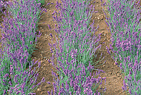 Lavandula angustifolia Hidcote in flower English lavender