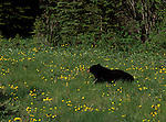 A black bear sits alone in a small field of dandelions in Banff National Park, Alberta Canada.