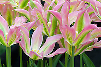 Pink, green, yellow striped tulip Virichic viridiflora tulips flowers