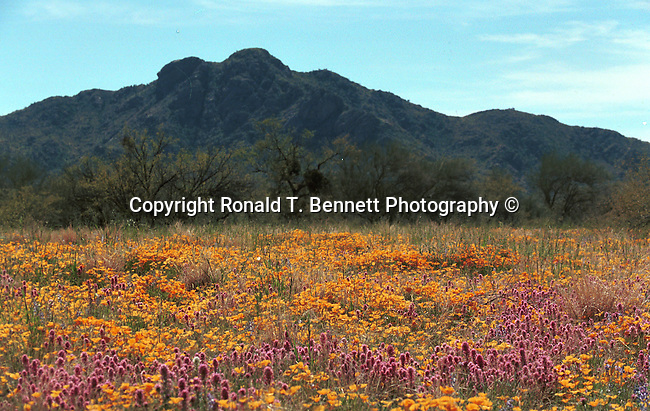 Desert wild flowers in bloom Palm Springs California California, West Coast of US, Golden State, 31st State, California, Fine Art Photography by Ron Bennett, Fine Art, Fine Art photography, Art Photography, Copyright RonBennettPhotography.com ©