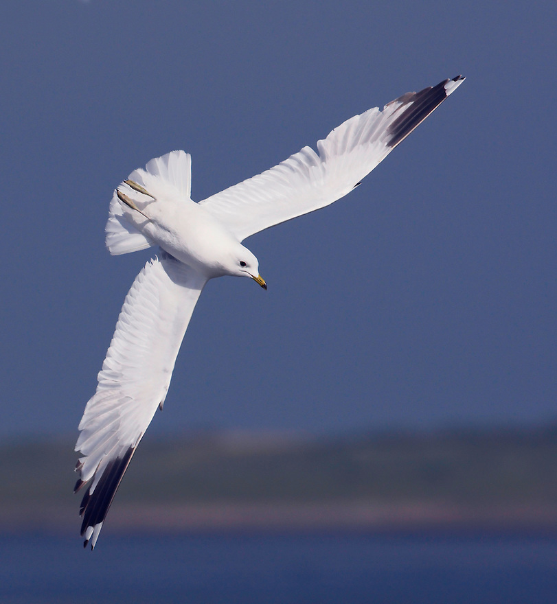Common Gull (Larus canus)<br /> , Texel, the Netherlands