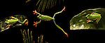 A red-eyed tree frog jumps from one leaf to another in the rainforest.  (composite)